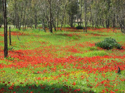 500-Red_blossom_in_israel